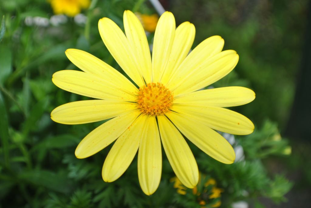 Yellow Daisy Yellow daisies, Colorful flowers, Yellow lily