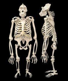 gorilla skeleton from behind - Google Search | anatomy ...