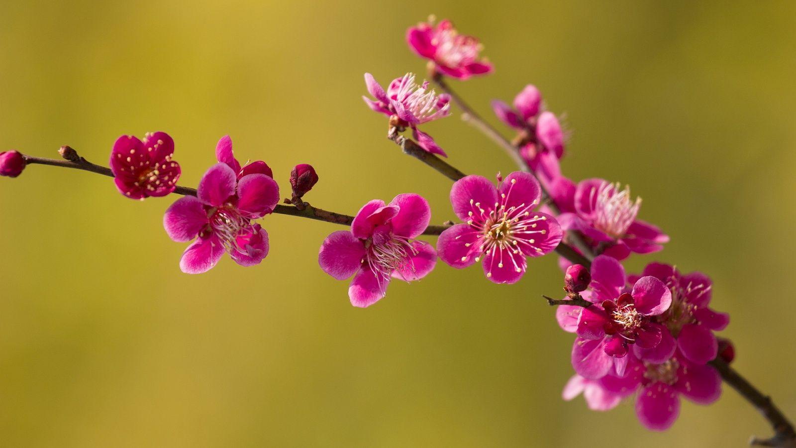 1600x900 Pink Spring Blossoms Wallpaper Pink Spring Spring