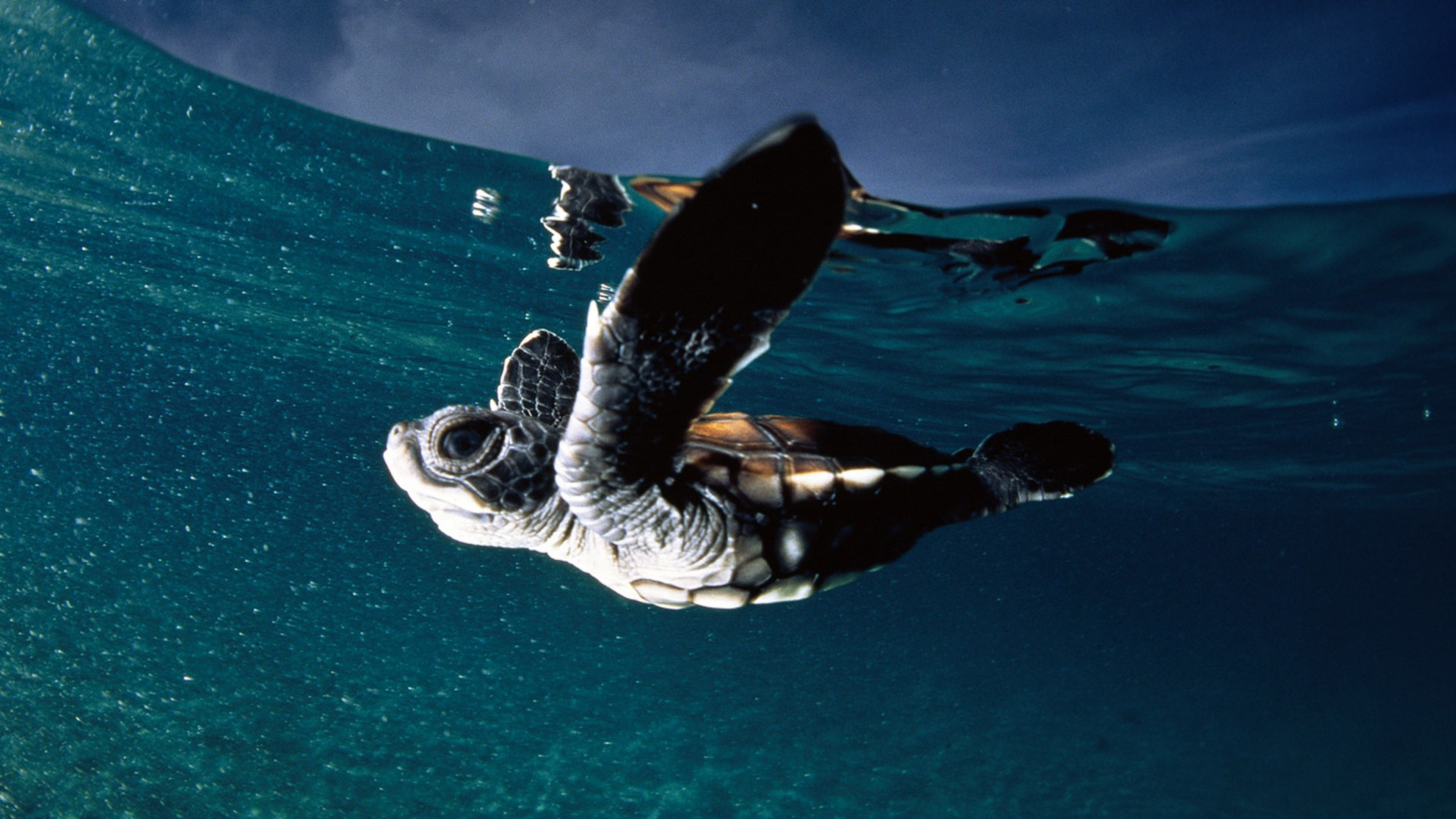 Leatherback Sea Turtle Wallpapers Animals Town