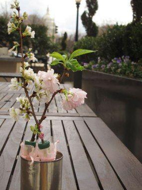 Cherry Blossom Themed Perks From Washington D C Hotels Cherry Blossom Washington Dc Cherry Blossom Blossom