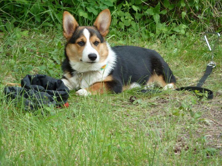 Tri Color Pembroke Welsh Corgi Puppies | Puppies Puppy