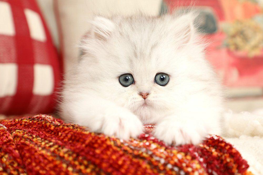 Persian Kittens For Sale Gemstone Persian Kittens For Sale Cats Persian Kittens