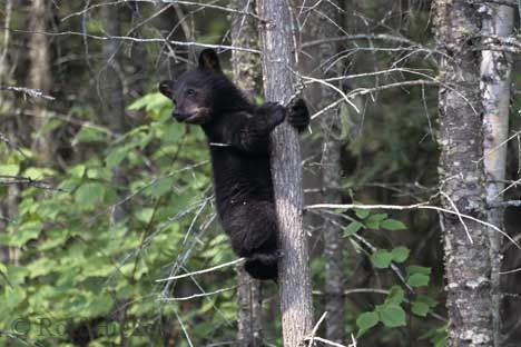 Black Bear cub, Ursus americanus, Canada, North America. | Flickr – Compartilhamento de fotos!