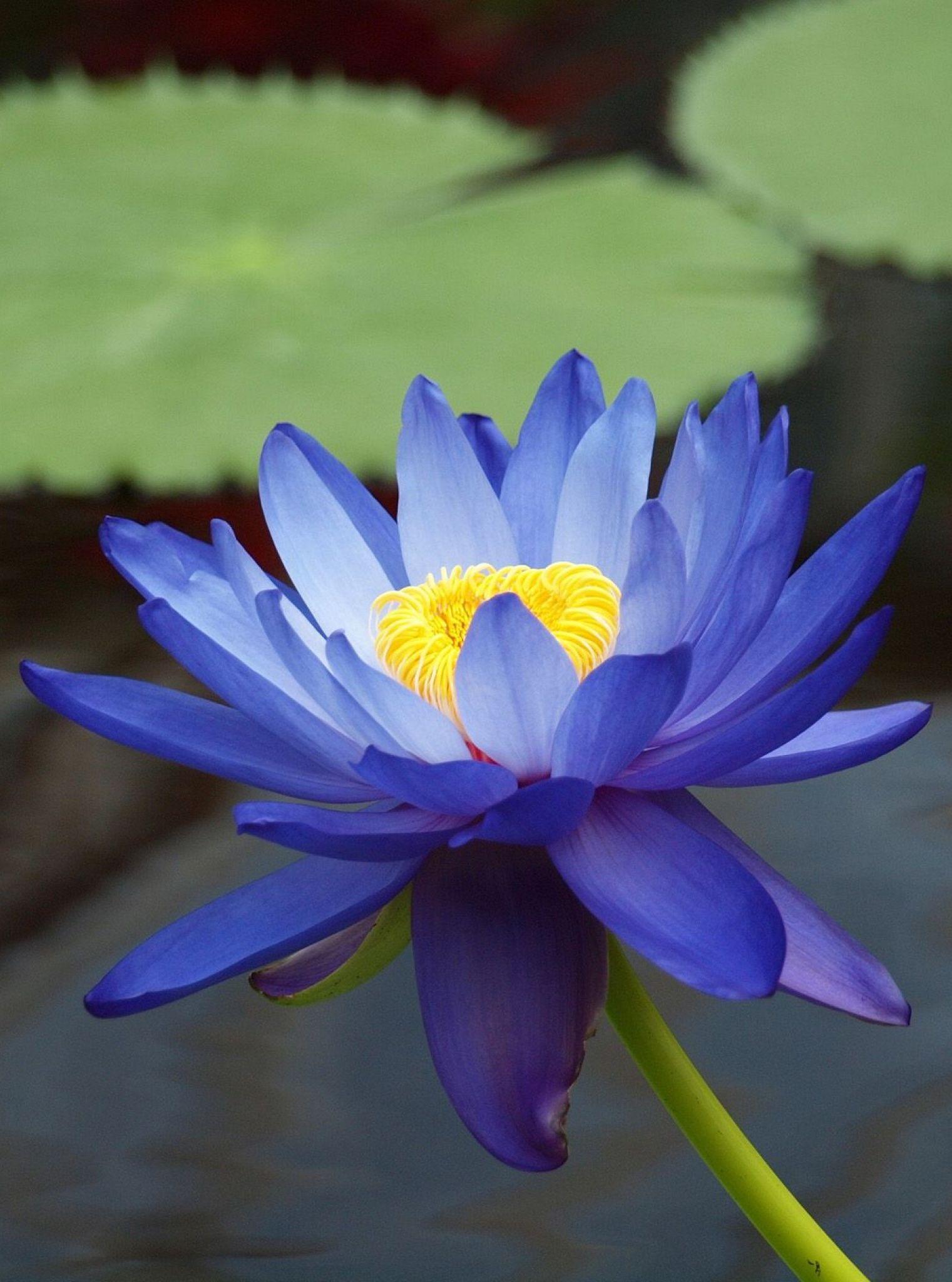 Nymphaea Gigantea Australian Blue Waterlily Nymphaceae Real