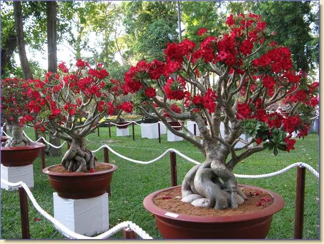 Rosa Do Deserto Como Cuidar Desta Planta De Beleza única Blog