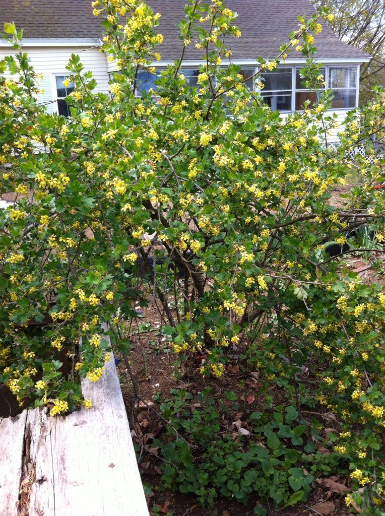 Clove currant bush (spice bush) love it's smell! 5/16