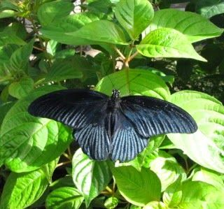 Great Mormon (Papilio memnon) - Butterfly Exhibit at Lewis Ginter Botanical Gardens - The Nature In Us Newsletter - 4/15/15