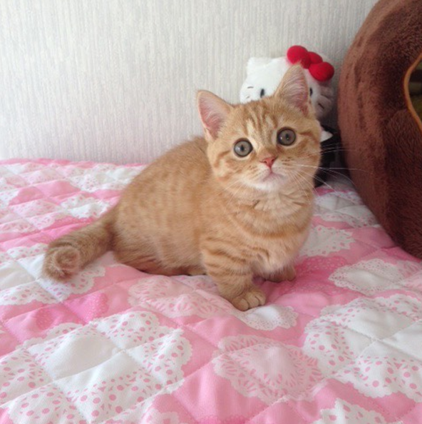 21 Reasons Why Munchkin Cats Are Too Pure For This World