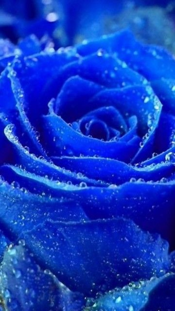 Blue rose with dew drops. We've got these in the shop, as ...