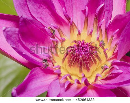 Macro pink lotus flowers with bees eating for nature backgrounds macro pink lotus flowers with bees eating for nature backgrounds mightylinksfo