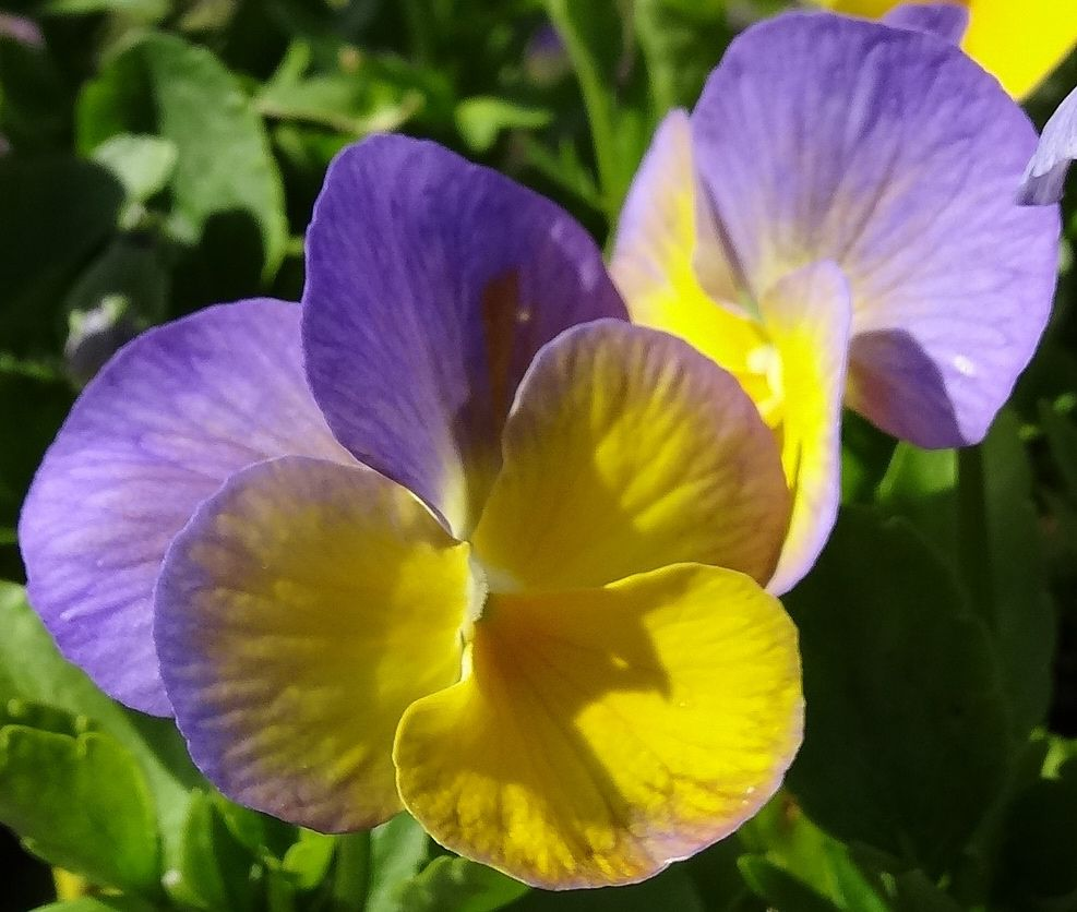 Magnifiscent Bonny Viola Blooms With Remarkable Bi Color Lavender
