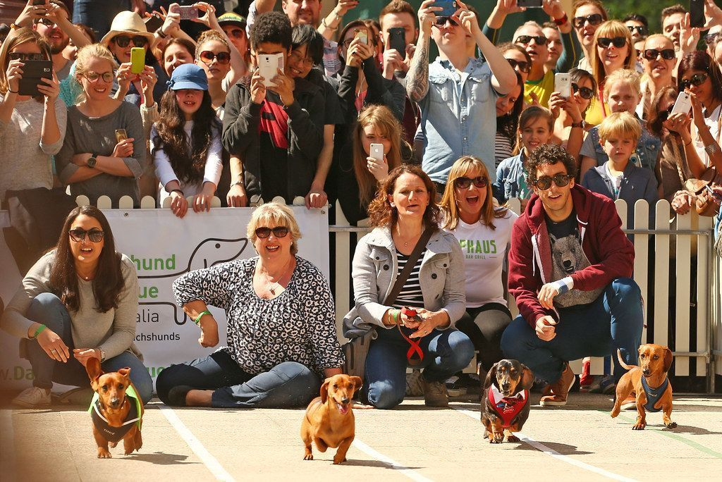 On Saturday More Than 50 Dachshunds Descended On Melbourne S