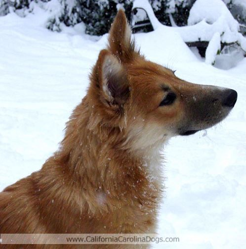 Http Www Californiacarolinadogs Com Carolina Dog Dogs African Wild Dog