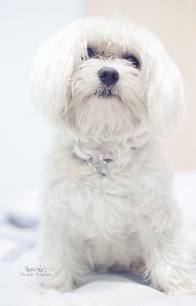 Happy Birthday Nai Maltese Dogs Maltese Dogs