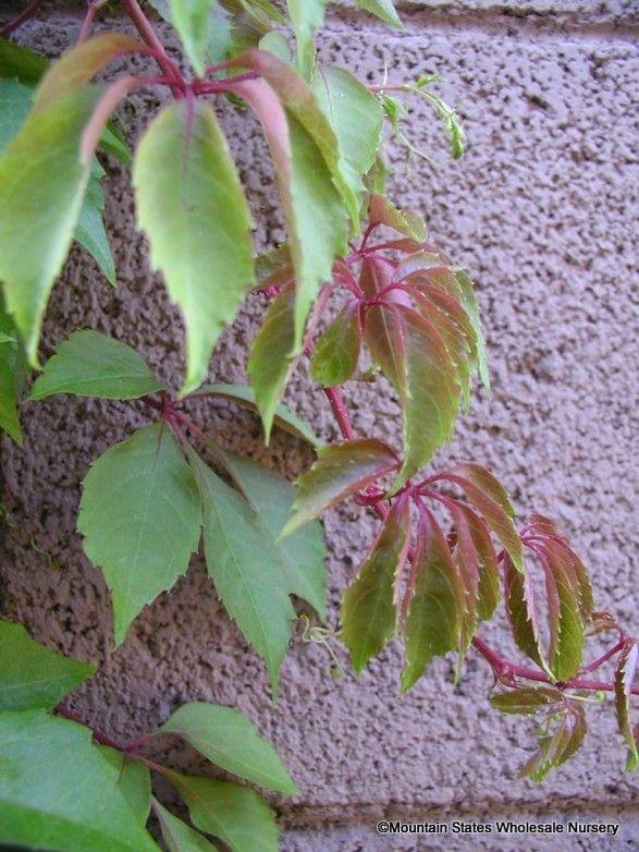 parthenocissus hacienda creeper - Google Search