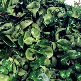 rope hoya one of over 400 varieties from exotic angel plants over 400 different foliage. Black Bedroom Furniture Sets. Home Design Ideas