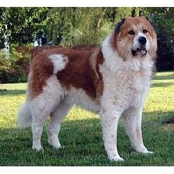 Caucasian Mountain Dog Caucasian Shepherd Dog Caucasian Mountain Dog Caucasian Shepherd