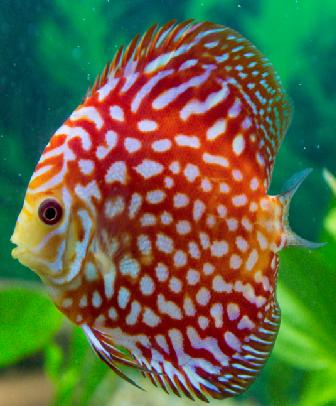 Discus Fish Buy Discus Fish Red Melon In 2020 Discus Fish Fish Salt Water Fish