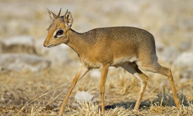 11 exotic animals that start with the letter d | dik dik, exotic
