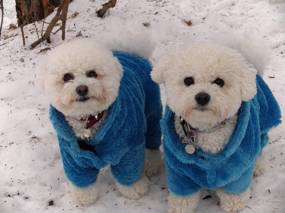 Gabby and Poppy Bichons looking lovely in their blue furry snowsuits