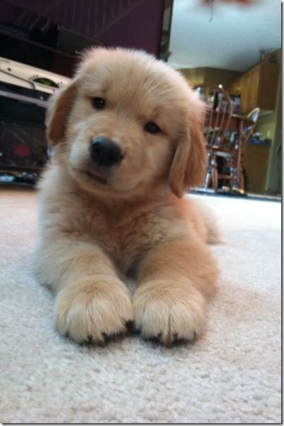 Those Funny Animals 44 Photos Thechobble Puppies Retriever Puppy Cute Dogs