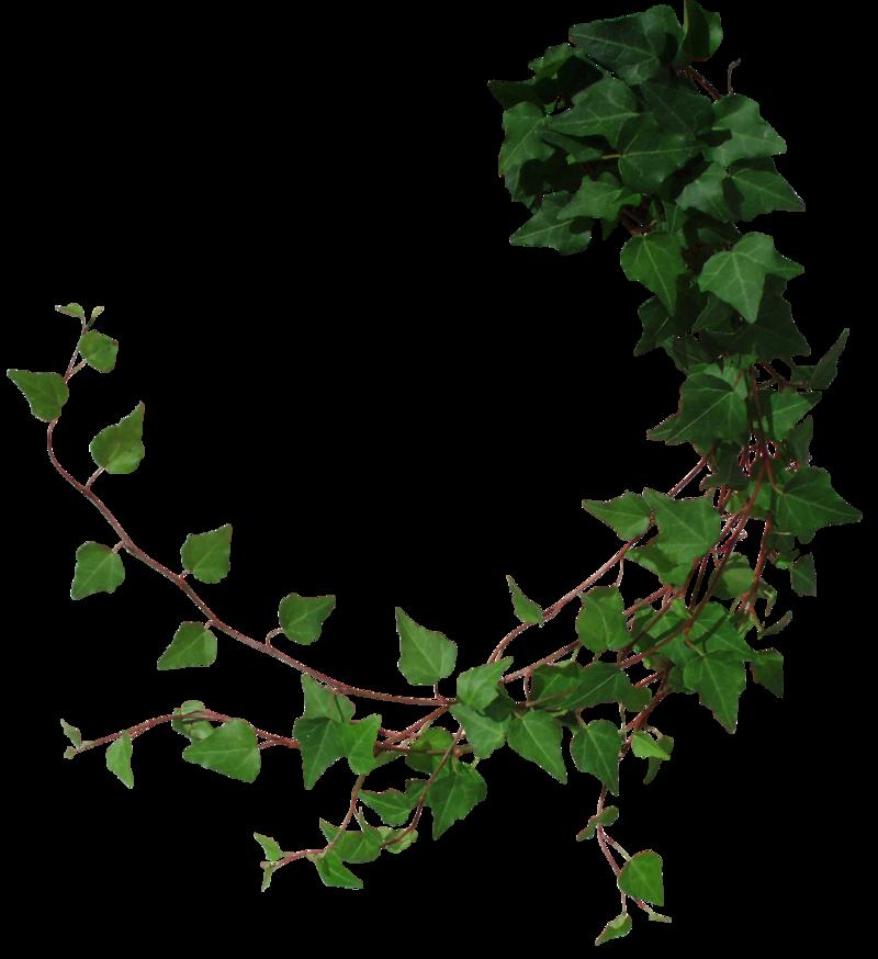 Ivy 2 by Black-B-o-x deviantart com   PNGs   Hedera helix