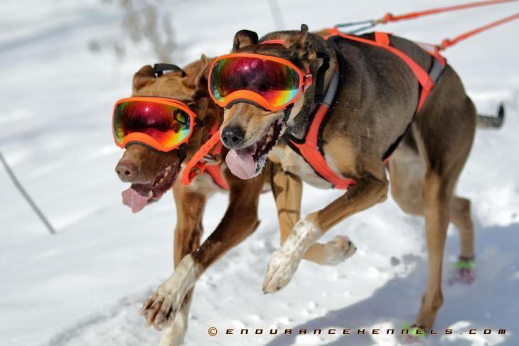 Rex Specs Rexspecs Sled Dogs Sleddogs Dog Sledding Dogsledding Dogpower Duluth Mn Minnesota Two Harbors Dog Sledding Dog Goggles Sled Ride