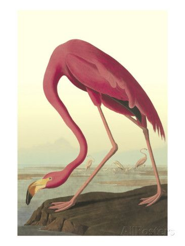 Amerikan flamingo Taidevedos