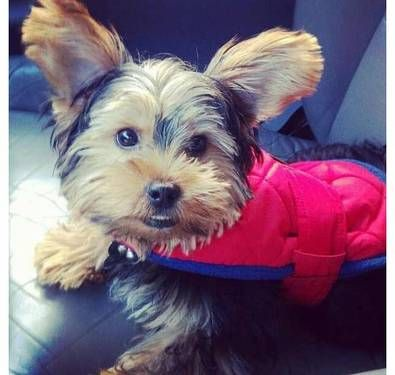 Toy Male Yorkie Yorkie Dogs And Puppies Yorkshire Terrier