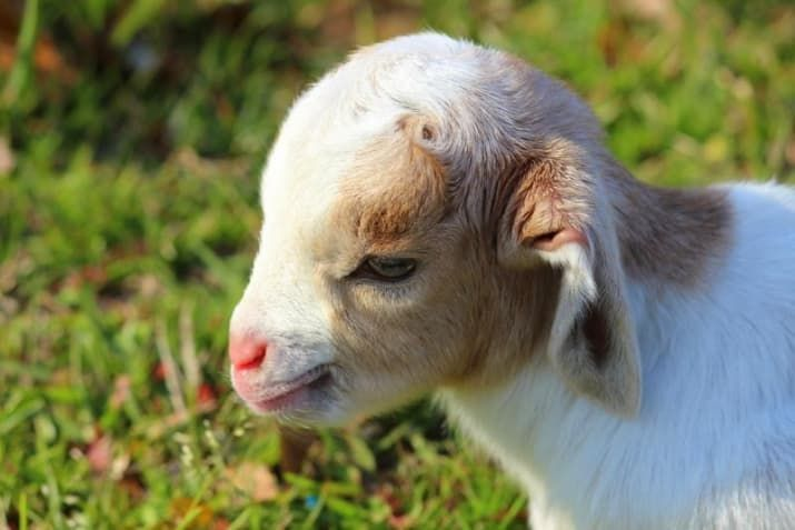 Cute factor: Goats aren't super cuddly...but those adorable ears make up for it.