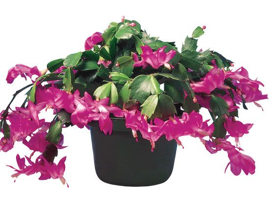 How to care for a Christmas Cactus (Home Depot blog) | Green ...