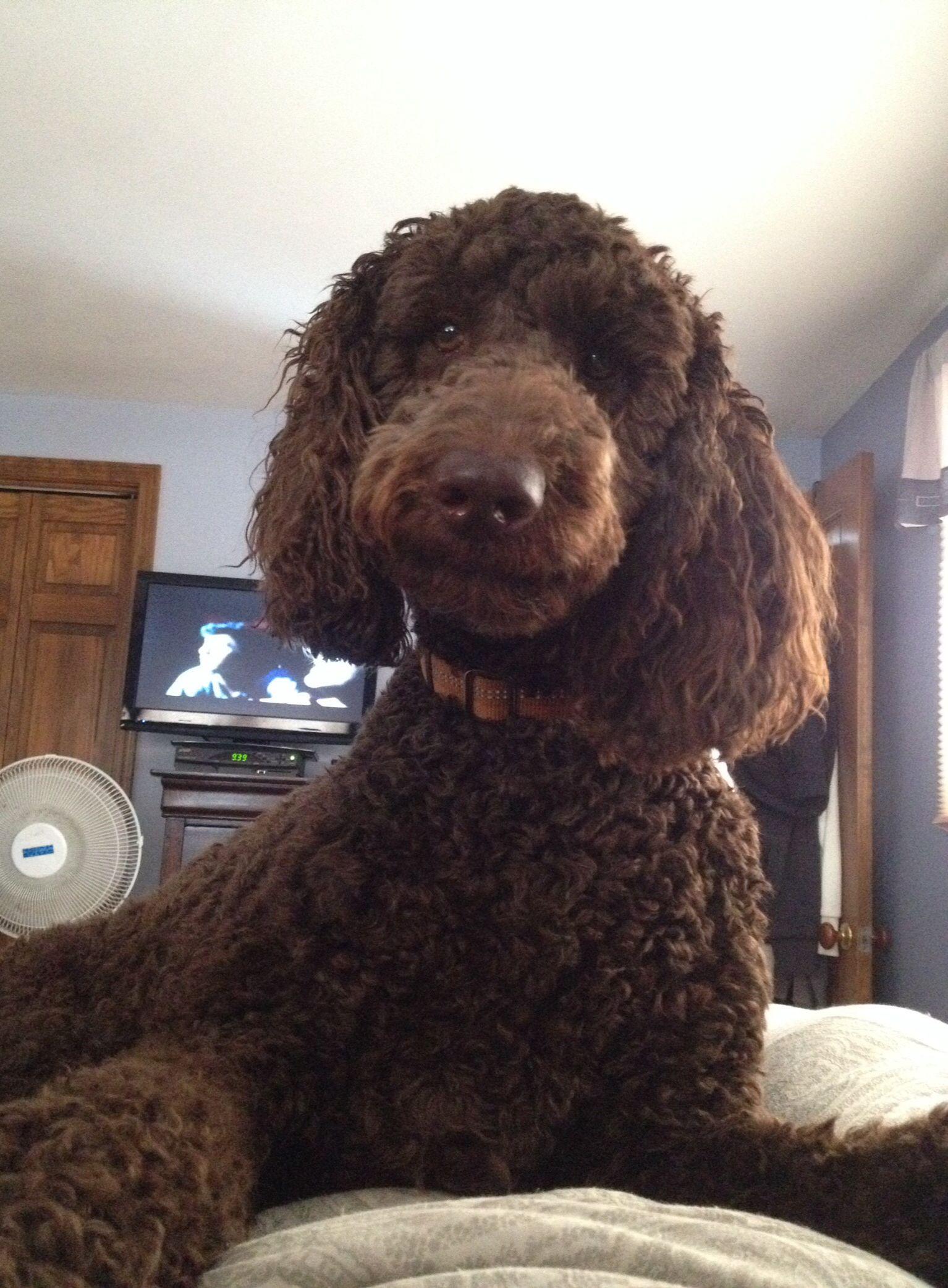 Xoxo Standard Chocolate Poodle Chocolate Poodle Poodle
