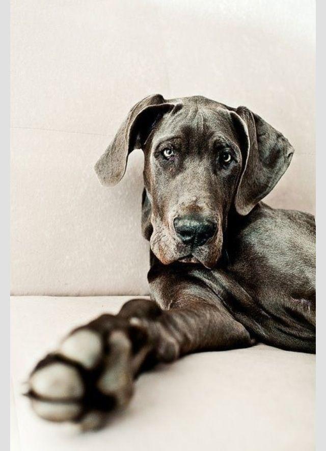 Blue Great Dane Blaue Dogge Hunde Doggen Welpen