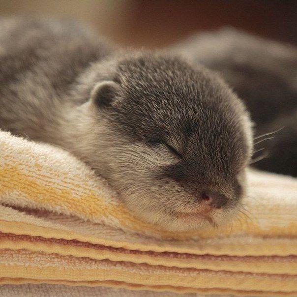 sleepy otter