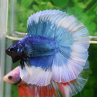 Brilliant Blue White Full Moon Double Tail Male Halfmoon Betta Imported Betta Halfmoon Betta Betta Fish