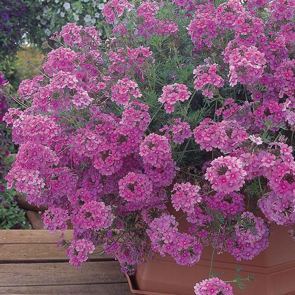 verveine star dreams rose fonc fleurs jardinage verveine retombante et verveine. Black Bedroom Furniture Sets. Home Design Ideas