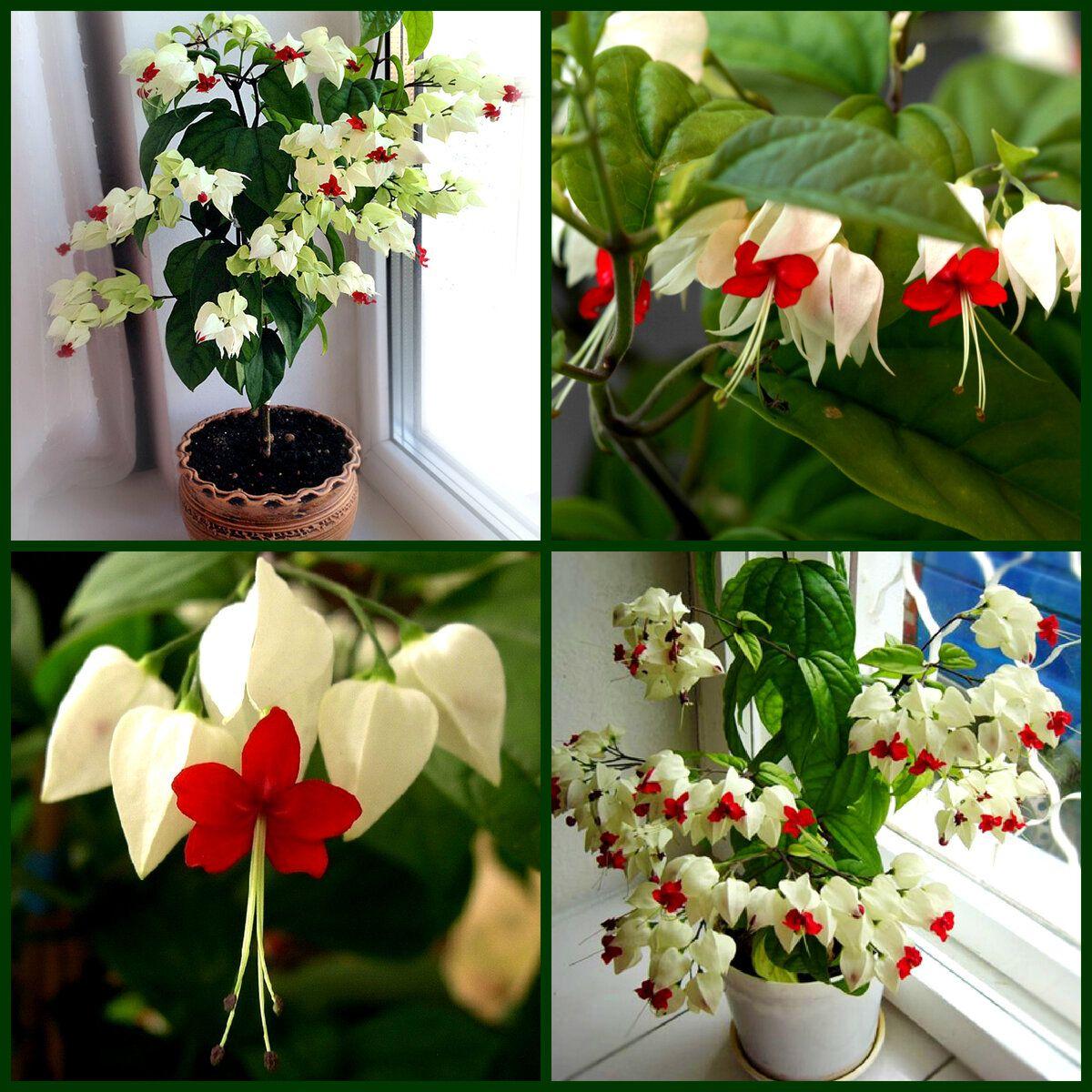 Красивейший комнатный цветок, который цветет почти круглый ...