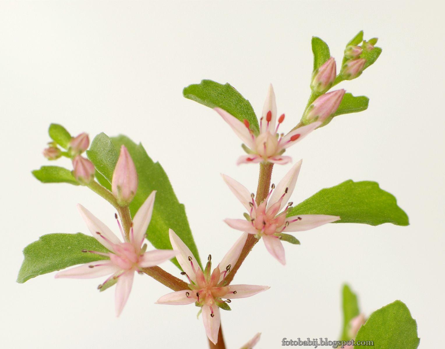 Darmowe zdjęcia 4K, HD, na tapety, Free Photos : Rozchodnik kwiecisty kwiaty Sedum floriferum flowe...