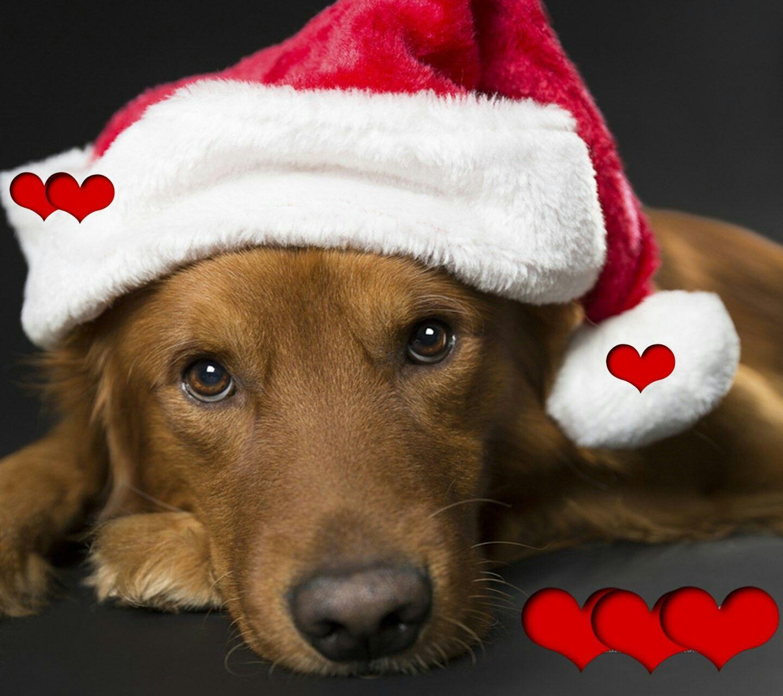 Christmas animal pics by Lizette Pretorius Pet holiday