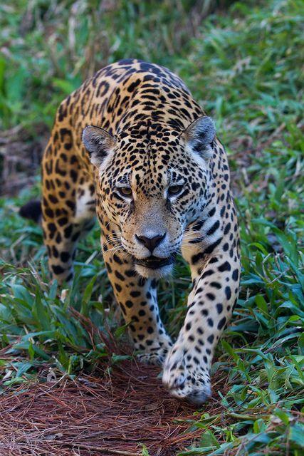 Jaguar Photograph By Ricardo Reboucas Wild Cats Big Cats Animal Totems