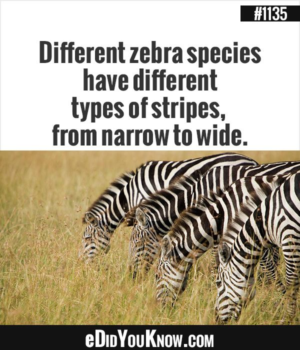 eDidYouKnow com Different zebra species have different types of stripes from narrow to wide