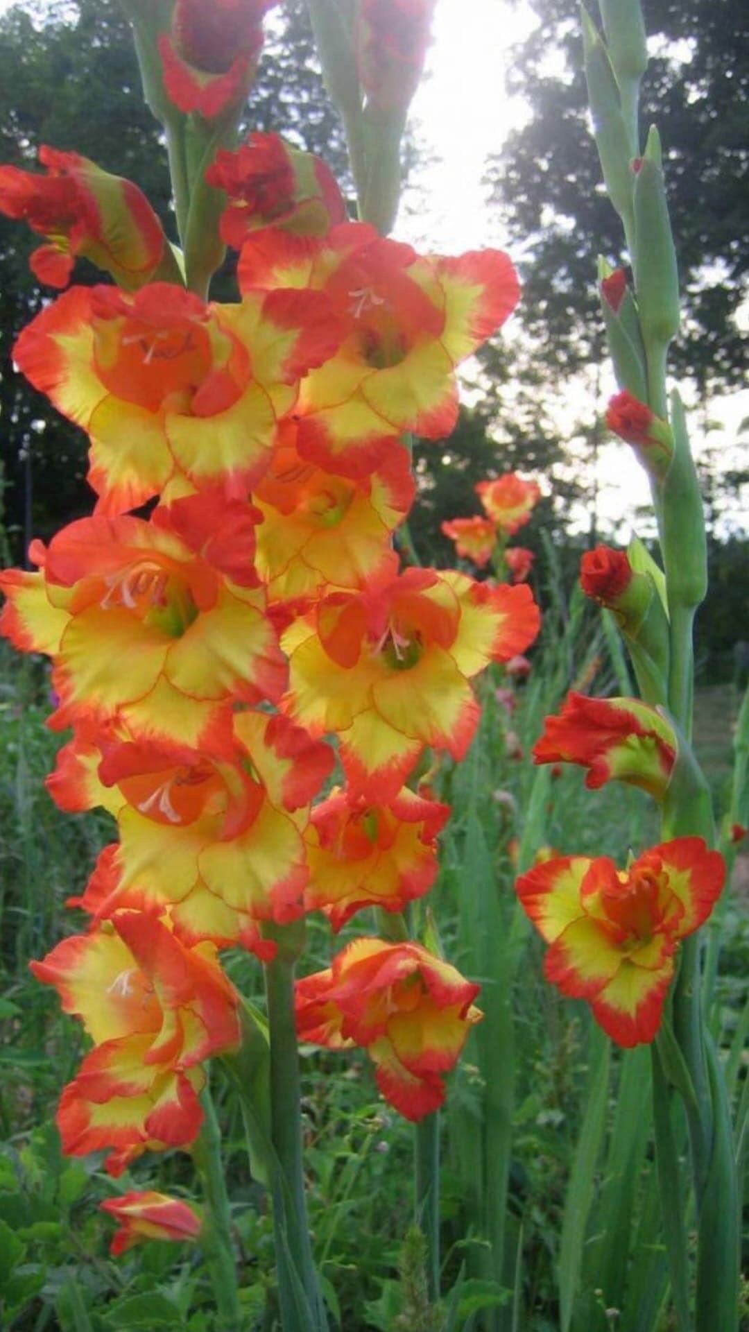Beautiful Gladiolas Gladiolus Flower Gladiolus Flower Pictures Flower Pictures