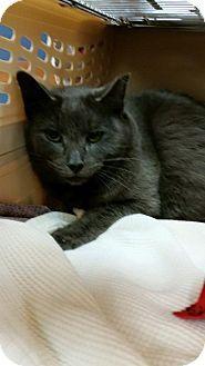 Mount Laurel Nj Russian Blue Meet Luke Skywalker A Cat For Adoption Http Www Adoptapet Com Pet 14756820 Mount L Cat Adoption Kitten Adoption Saving Cat