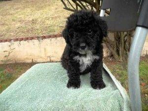 Maltipoo Puppies Black Cute Baby Animals Puppies Maltipoo Puppy