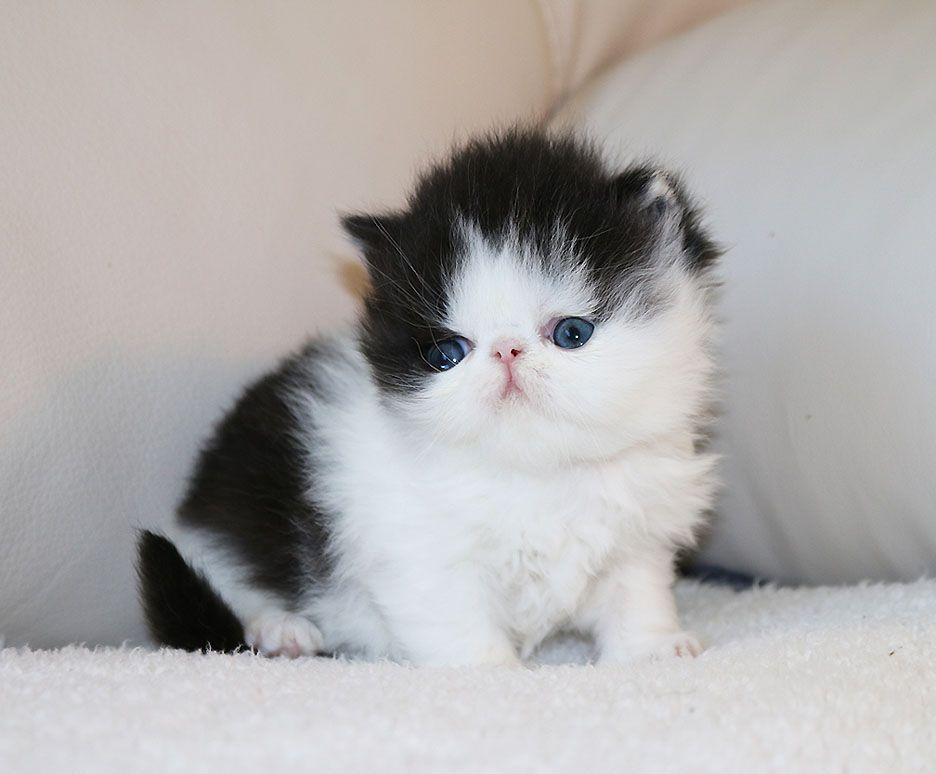 Alfenloch Persian Kittens Ontario Canada And Himalayan Kittens Ontario Persian Kittens Himalayan Kitten Persian Cat