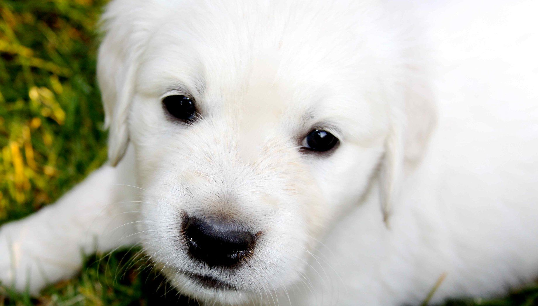 English Cream Golden Retriever Puppy Puppies White Golden
