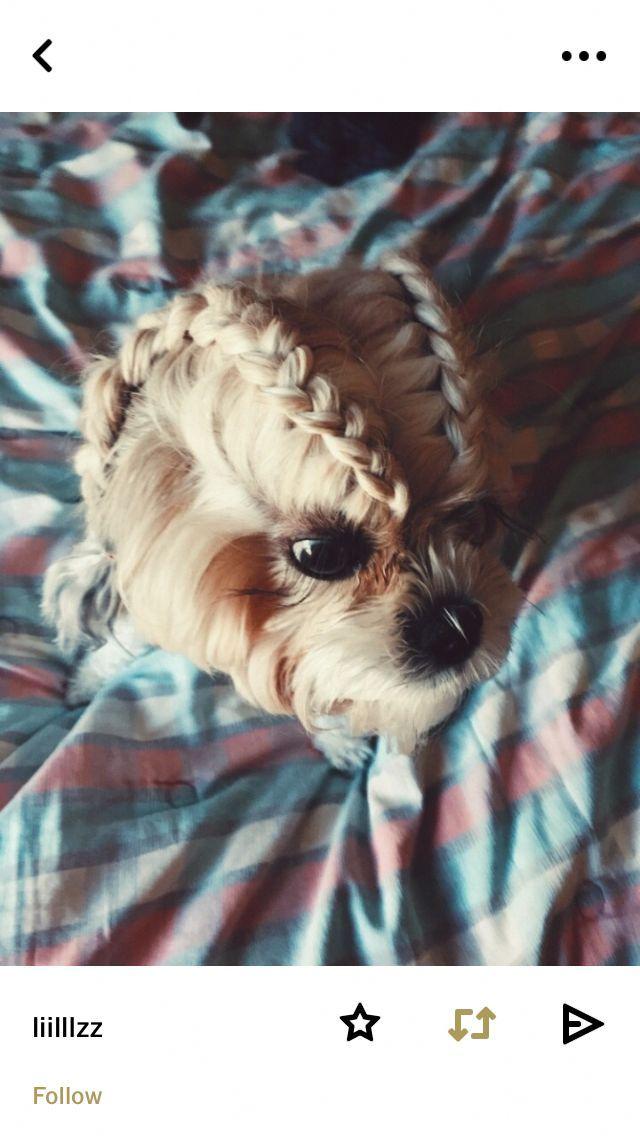 Photo of Obtenga excelentes sugerencias para Yorkshire Terriers. En realidad son ver …