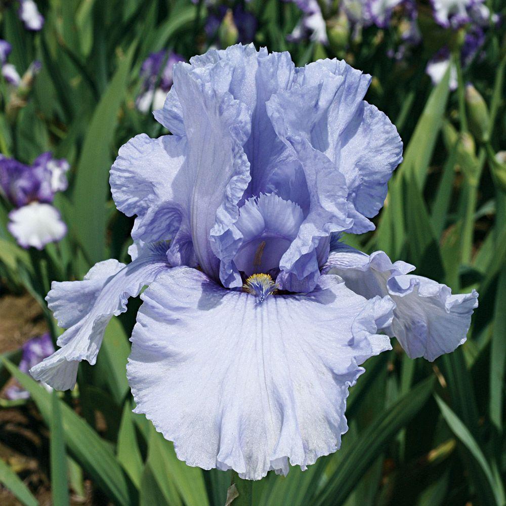 Wintry Sky German Iris Iris Flowers Bulb Flowers Iris Garden