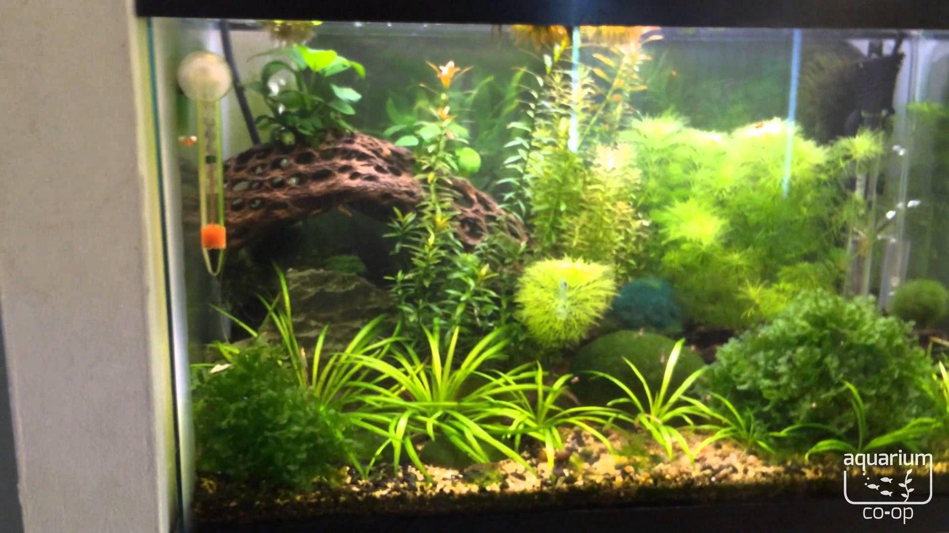 10 gallon tank live plants good betta tank driftwood pygmy